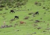 Cranford - Sulphur Mine wild goats